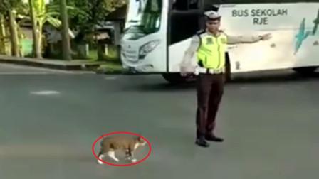 猫咪想要过马路,向交警求助,下一秒忍住别笑,镜头记录全过程