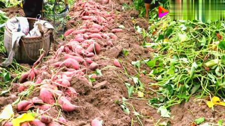 挖了好几天的赣南蜜薯,邻居大娘一锄头下去,挖到了红薯窝