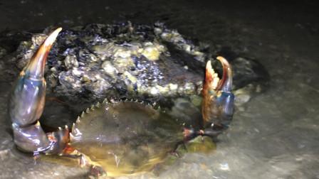 晚上退潮才是抓大货的时候,闲牛逛一下收获满满,还抓到了大蟹王