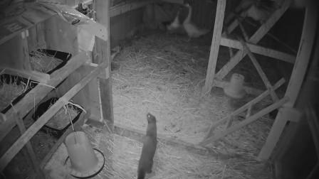 黄鼠狼天不怕地不怕,为什么会怕农村大鹅?今天终于懂了