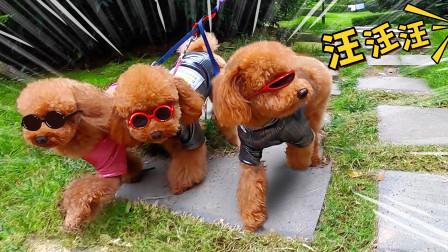 2019-43三只小泰迪戴着墨镜在街头装大佬,结果被一声狗叫吓得拔腿就跑!