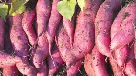 保存红薯最正确的方法,放一年都不烂,再也不怕涨价了,方法真棒