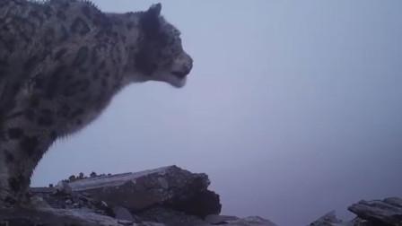 四姑娘山首次拍到野生雪豹 幺妹峰与野生雪豹罕见同框