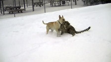狗狗看到猎豹,上去就一个锁喉,下一秒千万别笑