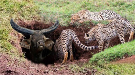 猎豹偷袭野牛,不料直接被野牛顶飞,镜头记录惨烈全程