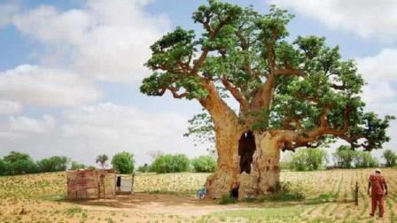 """非洲出了一种""""万能树"""",自从有了它,当地人吃喝住都不愁了"""