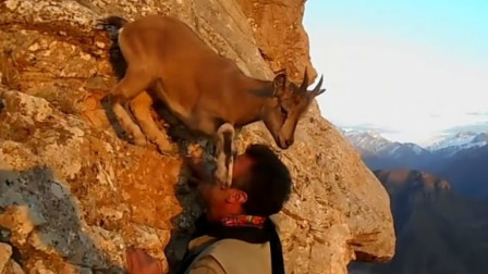 岩羊遇到攀岩的男子打算把他推下数百米的悬崖镜头拍下全过程