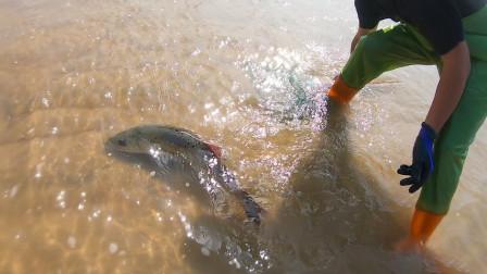 退大潮后鱼群被困海边,收获比平时要多好几倍,直呼发财了