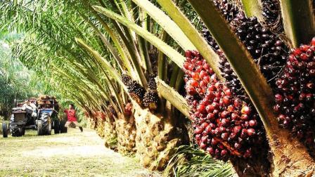 疯狂的棕榈树工厂:果肉被榨成棕榈油,一人高的叶子还有大用途!