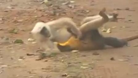 黄鼠狼看中了一只猴子,一个饿虎扑食加锁喉,结果猴哥技高一筹!