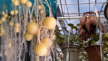 """悬挂在空中的""""土豆""""走红 网友:它已经不是土豆了 是空气豆"""