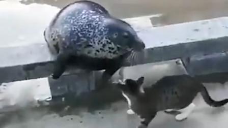 海豹竟然被一只小猫咪打伤,身体僵直滚落下水