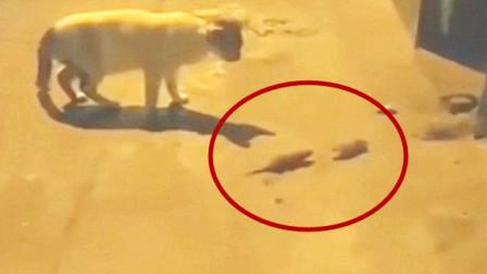 这是我见过最失败的猫,老鼠一点面子都不给它,伤自尊了