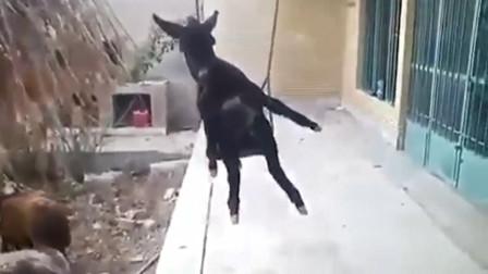 一头小驴玩得正高兴,结果一不小心摔了下来,大家忍住别笑