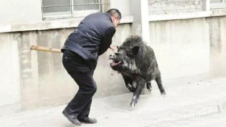 男子在路上被野猪撞飞,惨遭多次顶撞撕咬,镜头记录全过程!