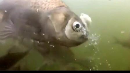 水下拍摄鲫鱼是怎样吃饵的、大鱼吃大饵小鱼吃小饵是否准确?