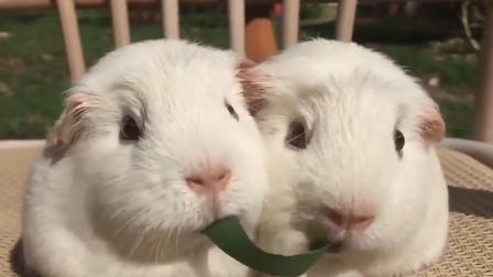 豚鼠同吃一根草,最后亲在一起了,简直萌化了