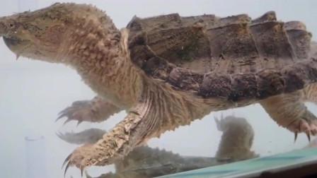 水中霸王鳄龟攻击速度快,捉泥鳅不成问题