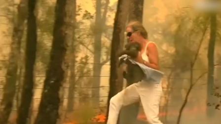 澳大利亚考拉在山火中爬行,路人冒险将其救出