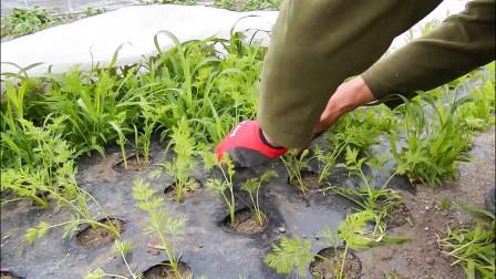 胡萝卜如何高产?种植时间好技巧都很重要