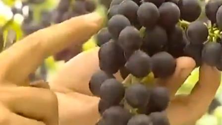 农户选择下雨天开园采摘 葡萄基地迎来游客 来不及拍照就先吃上了