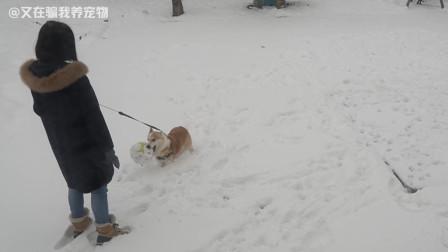 柯基:下雪也不能阻止我对玩球的热爱