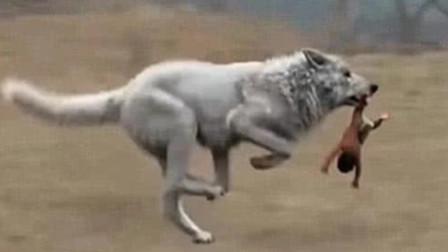 为什么狼遇到人类婴儿,会抚养长大而不是吃掉?现在总算知道了!