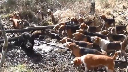 强悍野猪被几十只猎狗围堵,结局会如何呢?镜头拍下精彩过程