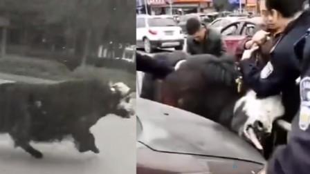 最后的挣扎!待宰牦牛逃出屠宰场街头狂奔 被民警四辆车围堵拿下