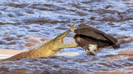 秃鹫偷河马肉吃,不料刚吃饱就发现不对劲,想逃已经来不及了