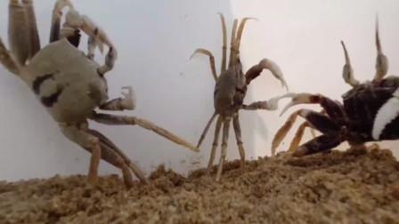 """小伙到无人荒岛上赶海,在沙滩上挖了不少螃蟹中的""""法拉利"""",刺激"""