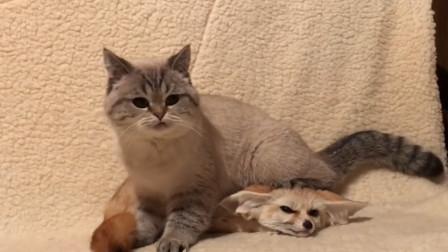 主人带回来一只狐狸,猫咪以为是送给它的玩具,这场面太滑稽了