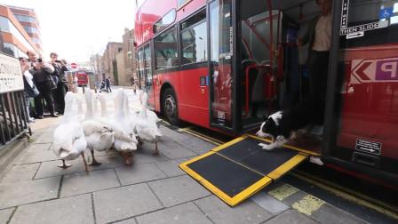 狗指挥一群大白鹅坐公交车,路人纷纷围观拍照,这狗简直成精了