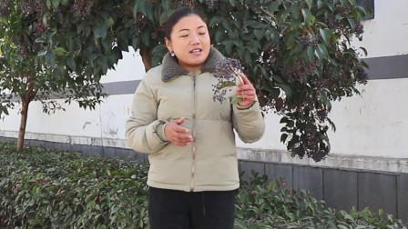 """长在绿化树上的中药材""""女贞子""""有哪些用途你还不知道吧!"""