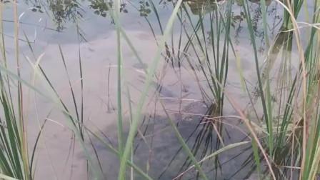 农村小河里的鱼真多,清水河里都能看见野生大鲤鱼,吃鱼太方便了!