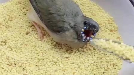 这鸟是真的能吃,主人一拿起勺子,小鸟的嘴巴就张开了