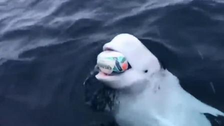 白鲸开心的与南非察船船员在大海大玩抛接橄榄球游戏