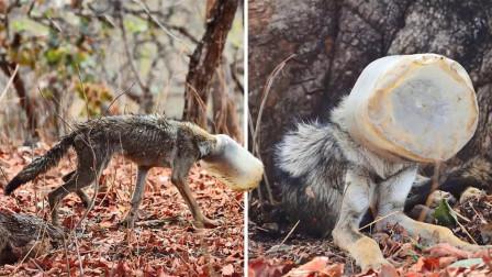 """一匹没有""""头""""的狼,在草地上走来走去,这模样让人落泪"""