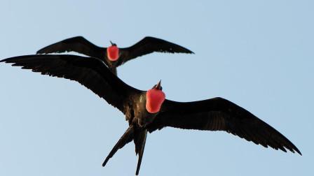 世界上飞得最快的鸟,时速可达418公里,成年后基本没有天敌