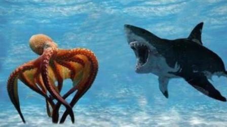 巨型章鱼捕捉鲨鱼,捕食过程被拍到,真是大开眼界
