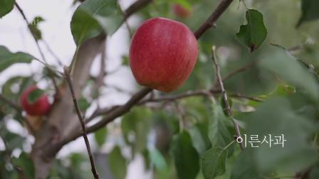《韩国农村美食》秋天果园里苹果丰收,又红又大的苹果,看着很有食欲