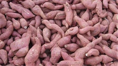 保存红薯不要放冰箱,一个简单妙招,放很久都不变质,还越放越甜