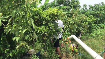 阿耀绕鱼塘一圈,第一次见树上挂满百香果,原来广东也可以种