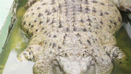 鳄鱼被男子当成猪养,一天喂10斤鱼,别说咬人了现在连走路都艰难