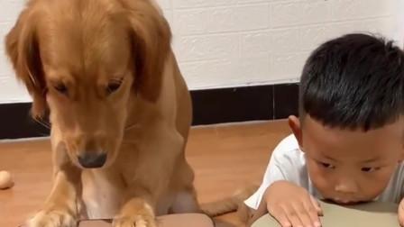 据说这只金毛是全网智商最高的狗子比五岁小孩都聪明看完服了
