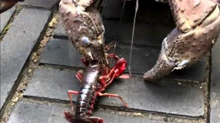 当小龙虾遇到椰子蟹,看到小龙虾被虐爆的样子,终于明白什么叫虾兵蟹将