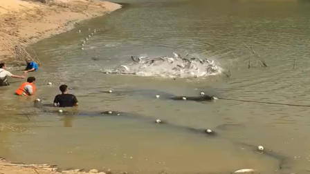 农村小伙家的鱼塘清鱼了,没想到一年的收获可真不少,全是几斤种的大鱼!