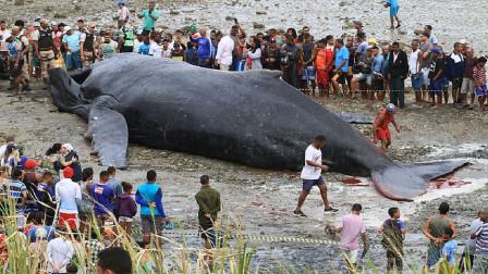 鲸鱼拼命往岸上游,一心求死,专家解剖尸体后沉默了