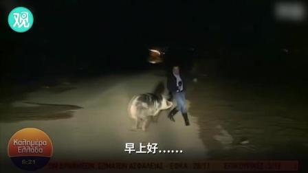 喜感!直播中的记者被猪缠上,一人一猪满屏乱跑