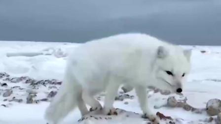 战士救下一只白狐,伤好后却不肯离开,从此与战士一起守护边防